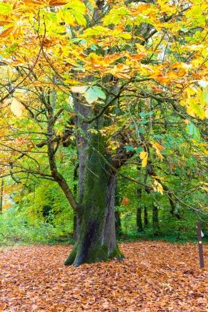 changing color: Gran �rbol con hojas de color cambiante en oto�o Foto de archivo