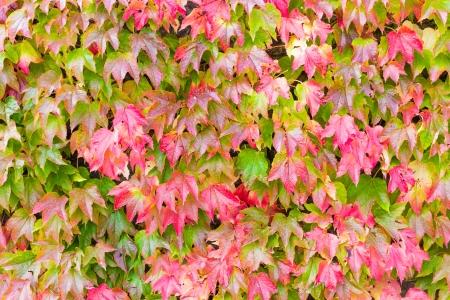 보스턴 아이비 또는 Parthenocissus tricuspidata 가을에 색을 변경 스톡 콘텐츠