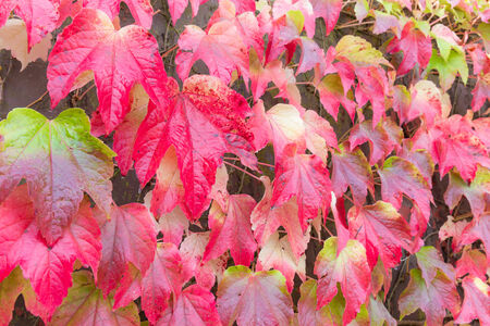 Red leaves of Japanese ivy or Parthenocissus tricuspidata in Autumn photo