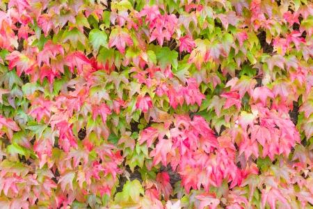 changing color: Japonesa o la hiedra Parthenocissus tricuspidata cambio de color en oto�o