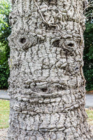 co  meath: Populus tree trunk with face Stock Photo