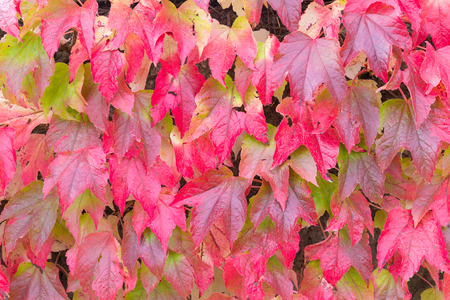 Red leaves of Boston ivy or Parthenocissus tricuspidata in the Fall photo