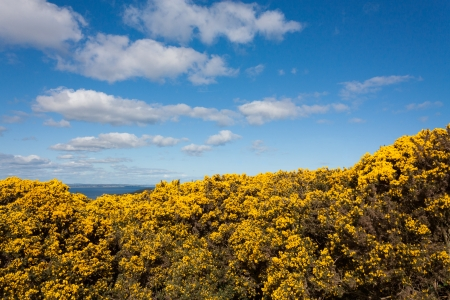 Yellow flowers on howth cliffs in ireland against a cloudy deep yellow pea flowers on howth cliffs in ireland against a cloudy deep blue sky photo mightylinksfo Images