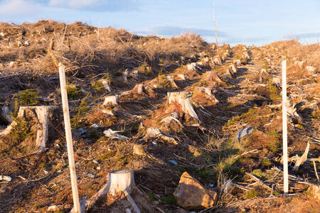 Cut down pine trees for woodland management photo