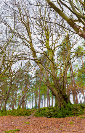Big Common Beech with twisted trunks as seen in Ireland photo