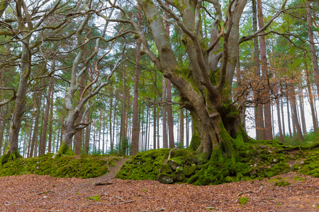 fagaceae: Big European Beech with twisted trunks as seen in Ireland