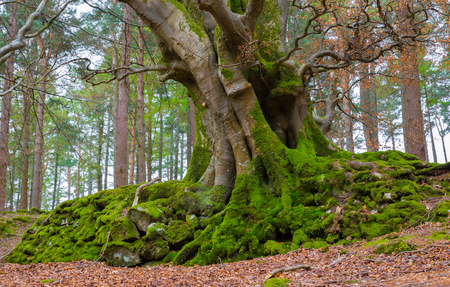 Close up of a European Beech with twisted trunks as seen in Ireland photo