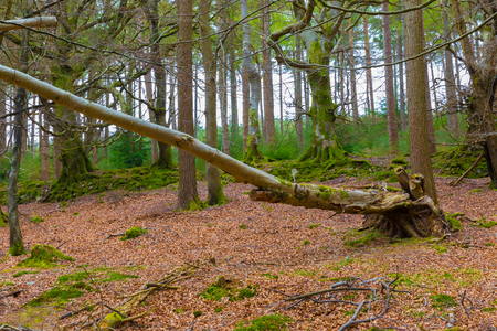 fagaceae: Fallen beech in a forest early spring Stock Photo