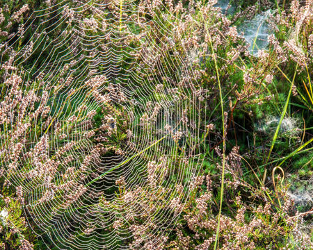 araneae: Big spider web with spider and dew drops