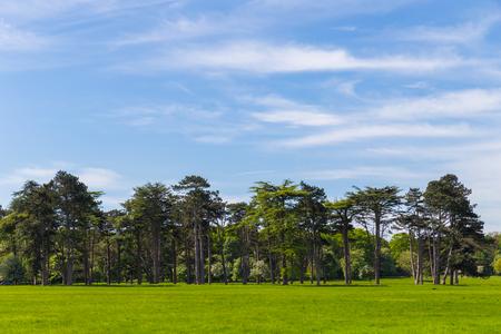 Pine trees in Phoenix Park Dublin Ireland photo