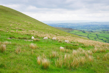 leinster: Sheep grazing on Slievebawn hillside in Carlow