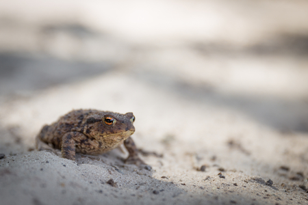 cagey: Common toad or Bufo bufo with slit eye sitting on alert on the sand