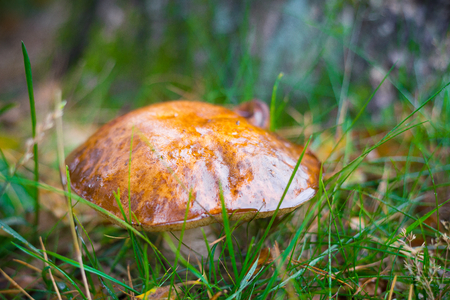 filamentous: Bay bolete or Boletus badius growing between grass