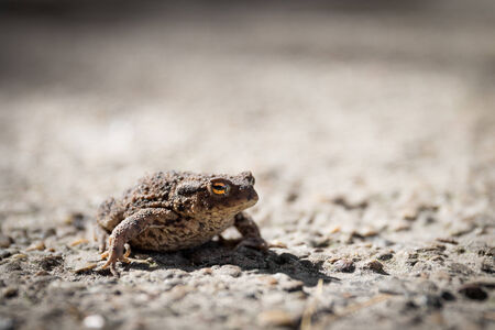 inconspicuous: Common toad or Bufo bufo with slit eye sitting on road surface Stock Photo