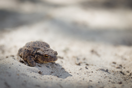 inconspicuous: Common toad or Bufo bufo with slit eye sitting wary in the sand Stock Photo