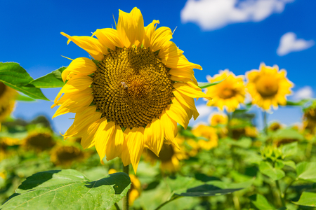 feasting: Big yellow sunflower with a feasting bee Stock Photo