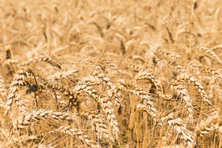 Close up of a field of Rye grain photo