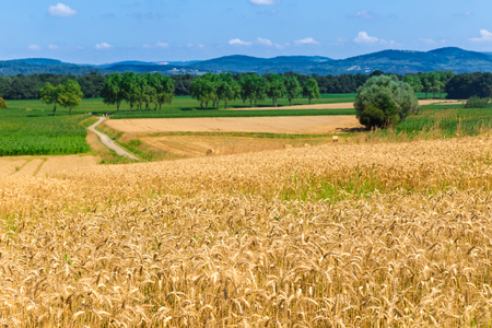 Field of rye in Figarol in the south of France photo