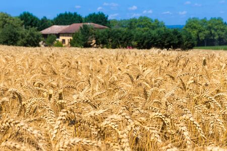 secale: Grain field in Figarol in the south of France Stock Photo