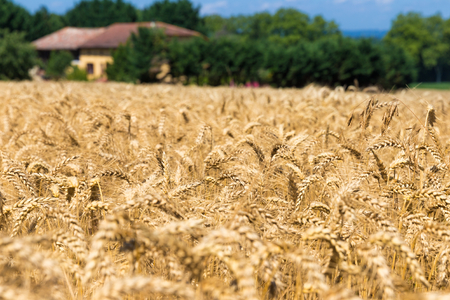 secale: Rye field in Figarol in the south of France Stock Photo