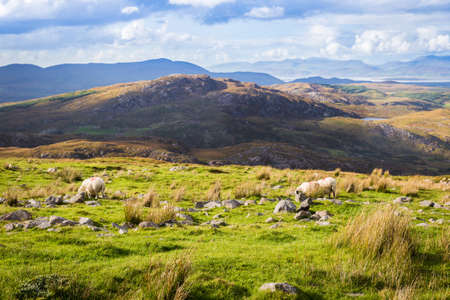 irish landscape: Colourful undulating Irish landscape in Kerry with grazing sheep in the foreground and rain and rainbow in the distance