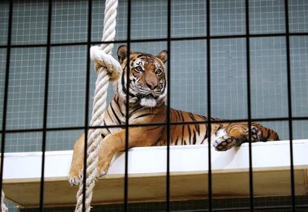 tigresa: Un tigre hermoso elegante que miente dentro de su jaula en el zoológico