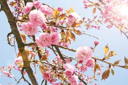 Detail of a beautiful cherry tree blossom whit blue light sky on the background photo