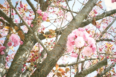 Detail of a beautiful blowing cherry tree blossom whit blue light sky on the background photo