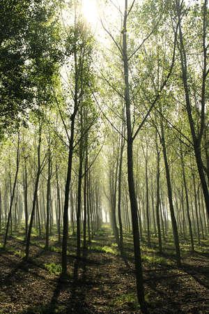 poplars: Beautiful woods of poplars in back light in a haze environment