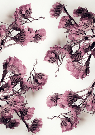 Close up of color cyclamen dried flowers in white background photo