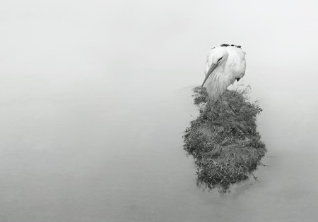 aquatic bird: Beautiful aquatic bird crane at rest standing on one leg on a islet in the river in black and white