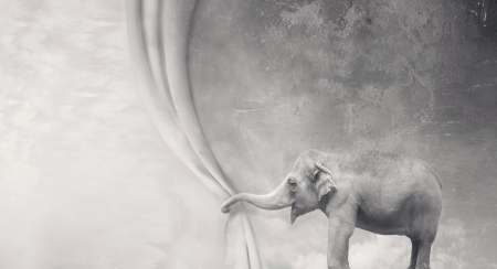 Beautiful surreal elephant that opens a curtain with its trunk in black and white photo