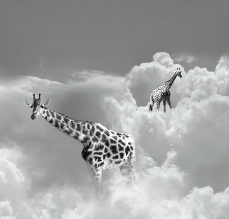 poetic: Surreal image representing two giraffe walking in the clouds in black and white Stock Photo
