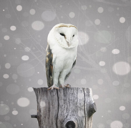rapacious: A beautiful barn owl above a trunk with a abstract of snow and branches with textured effect Stock Photo