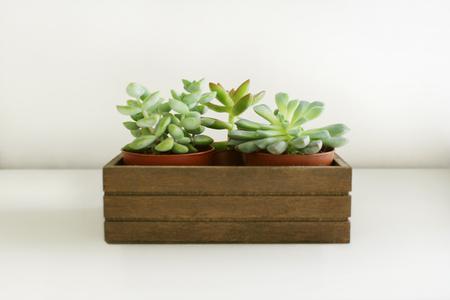 Detail of a three little  succulents plants in a basket 免版税图像