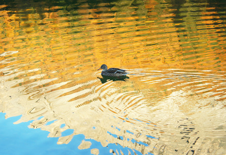 An abstract colorful background of water with reflection and a wild duck  免版税图像
