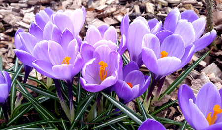 harbinger: Closeup of a group of violet blossoms of crocus from above Stock Photo