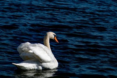 Swan - male