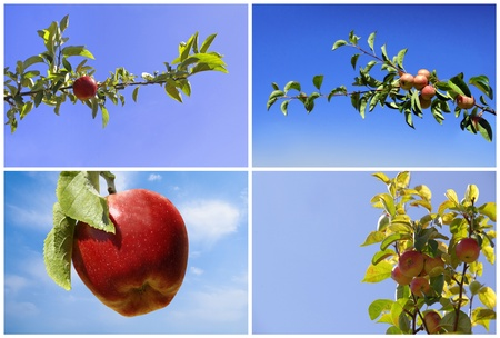 Branch of apples photo