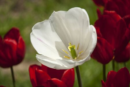 beatiful: Beatiful white tulip in red tulips