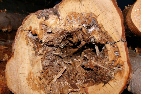 unsound: Close up of cut spruce with rotten core and sapwood Stock Photo