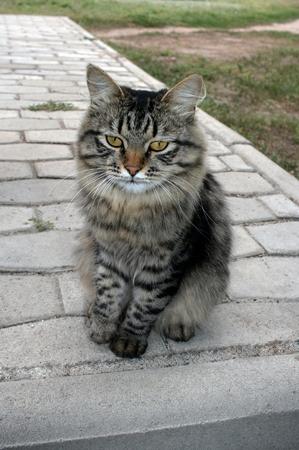 grey tabby: Grey tabby cat is sitting on a stone path in summer