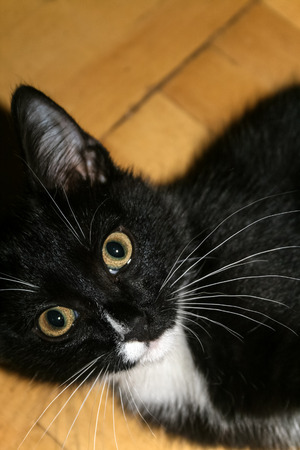The muzzle of black and white kitten lying on the parquet floor