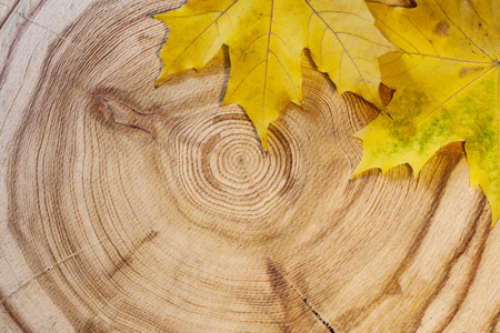 Two yellow maple leaf on a circular saw cut larch. Autumn background.