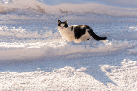 Black and white cat is  standing in the middle of a snow-covered road and looks warily in front of himself.