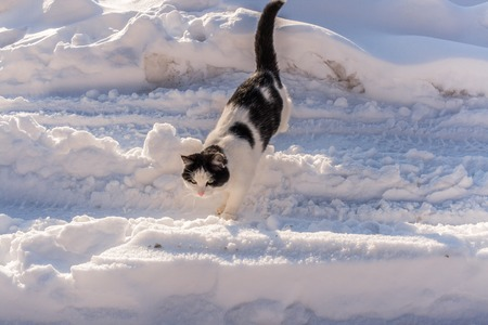 sneaks: Black and white cat is going through  littered with white snow road. Winter picture. Stock Photo