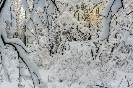 heaped: Winter landscape. The low winter sun shines dimly through impassable, heaped with fresh snow forest. Stock Photo