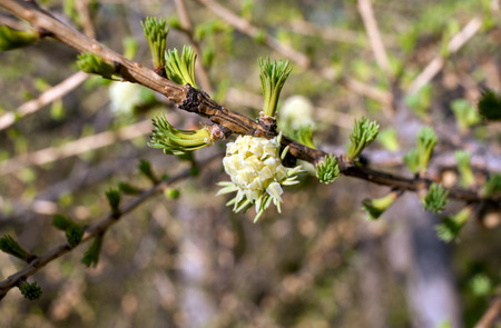 pineal: Branch of larch with young green needles and flower in spring.