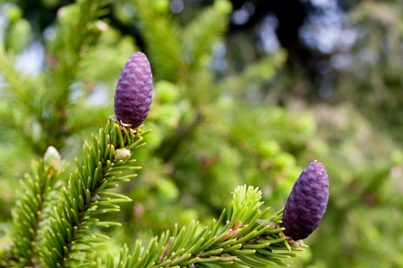 forestation: Branch of spruce with young purple pine cones in spring.