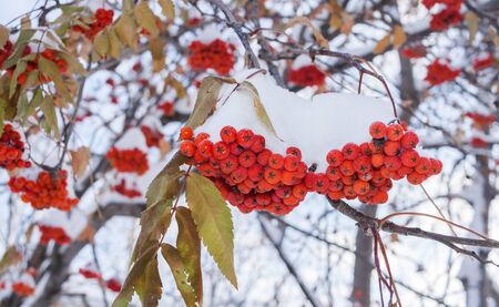 Winter background. Snow-covered bunches and leaves of red rowan berries in early winter.